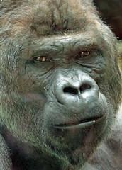 western lowlandgorilla Akili artis 094A0308 (j.a.kok) Tags: animal artis africa afrika aap ape mammal monkey mensaap primate primaat zoogdier dier gorilla westelijkelaaglandgorilla westernlowlandgorilla lowlandgorilla laaglandgorilla akili