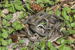 A Mating Ball of Snakes (Jeff Mitton) Tags: earthnaturelife wondersofnature snake gartersnake thamnophiselegans matingball wildlife colorado boulder reptiles