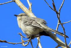 Northern Mockingbird (Lois McNaught) Tags: northernmockingbird bird avian nature wildlife hamilton ontario canada
