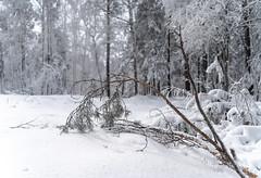 DSC09567 (Дмитрий Панкратьев) Tags: деревья лес природа снег