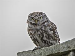 MK1_2281acsn (kilyy) Tags: ngc little owl