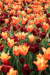 tulip garden (SCRIBE photography) Tags: uk england dorset wimborne kingstonlacy nationaltrust flower flowers tulip tulips garden bed color colour colours colors petals pretty country