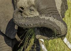Elephant (arcadia1969) Tags: maasaimara masaimara kenya wildlife wildanimals africa