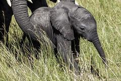 Elephant baby (arcadia1969) Tags: maasaimara masaimara kenya wildlife wildanimals africa