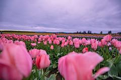 IMG_7330 (RegiShu) Tags: bloom flower flowers oregon spring tulip tulips us usa woodburn woodenshoetulipfarm unitedstatesofamerica