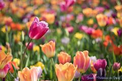 DN9A7827 (Josette Veltman) Tags: keukenhof lisse flowers dutch bloemen toeristisch canon nederland tulpen