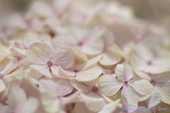 DN9A7738 (Josette Veltman) Tags: keukenhof lisse flowers dutch bloemen toeristisch canon nederland tulpen