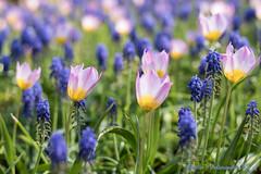 DN9A7548 (Josette Veltman) Tags: keukenhof lisse flowers dutch bloemen toeristisch canon nederland tulpen