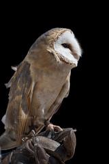 Barn owl / Effraie des clochers (Adrien Farese) Tags: zoo amnéville d750 tyto alba effraie des clochers barn owl birds prey night