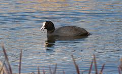 Лысуха - Coot (SvetlanaJessy) Tags: природа птицы лысуха bird birds