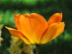 Orange Simplicity (Robert Cowlishaw (Mertonian)) Tags: deepseeksdeep 4beauty mertonian robertcowlishaw canon powershot sx70hs canonpowershotsx70hs simplicity gratitude awe wonder ineffable beauty beautiful nature petals lunchstrolling spring2019