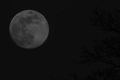 Heute ist Vollmond (Klaus R. aus O.) Tags: mond vollmond nacht schwarz baum oberschwappach krater erdumlaufbahn opposition ekliptik geozentrisch helligkeit