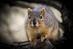 Squirrel, Morton Arboretum. 452 (EOS) (Mega-Magpie) Tags: canon eos 60d nature wildlife outdoors squirrel tree branch the morton arboretum lisle dupage il illinois usa america