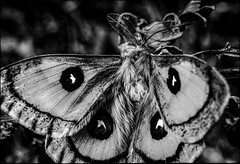 DRA091031_071A (dmitryzhkov) Tags: lepidoptera butterfly analog film epson scanbw monochrome blackandwhite nature animal dmitryryzhkov naturephotography europe animals biology life wildlife wild environment macro macrophotography closeup insect fauna flora