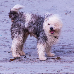 Dog on Isle of Barra (Briantc) Tags: scottishborders westernisles barra isleofbarra