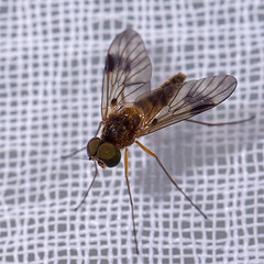 _IMG1186 (rv.laville) Tags: irix 150mm f28 macro pentax k3 mouche fly insect insecte