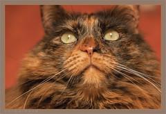 DSC04674 Easy Portrait (Olpo2vin) Tags: cat chat yeux eyes regard look félin feline olpo easy poils fourrure redessan 30129 animaldecompagnie vibrisses