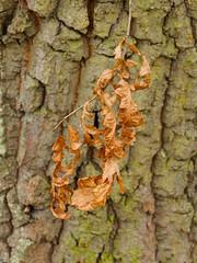 Leaf and Bark-F4160686 (tony.rummery) Tags: bark closeup deadleaf epm1 mft macro microfourthirds olympus pen puttenham stilllife guildford england unitedkingdom