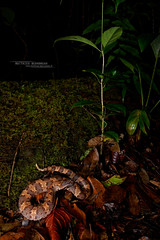 Garthius chaseni (Matthieu Berroneau) Tags: garthiuschaseni garthius chaseni borneo kinabalu brown pitviper kinabalubrownpitviper chasens mountain chasensmountainpitviper sony alpha ff 24x36 macro nature wildlife animal fe sonya7iii sonya7mk3 sonyalpha7mark3 sonyalpha7iii a7iii 7iii 7mk3 sonyilce7m3 herp herping trip malaysia malaisie bornéo reptile reptilian reptilia serpent 90 f28 g oss fe90f28macrogoss sonyfesonyfe2890macrogoss objectifsony90mmf28macrofe sel90m28g 2470 mm f4 zeiss fe2470mmf4zeiss situ insitu habitat wide angle wideangle grandangle paysage landscape endemic endémique