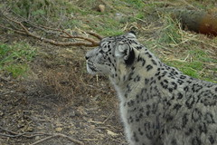 Snow Leopard (CoasterMadMatt) Tags: highlandwildlifepark2018 highlandwildlifepark highland wildlifepark wildlife park zoo zoos zoologicalgardens animalparks animalpark animal parks scottishzoos zoosinscotland enclosure enclosures animalenclosures animals exhibit exhibits snowleopard snow leopard pantherauncia panthera uncia cat cats kingussie kineussie invernessshire scottishhighlands scottish highlands scotland alba britain greatbritain unitedkingdom gb uk europe december2018 autumn2018 december autumn 2018 coastermadmattphotography coastermadmatt photos photographs photography nikond3200