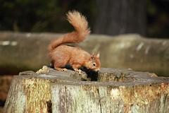 IMG_8968 (2) (kattabrained) Tags: redsquirrel carniewoods scotland