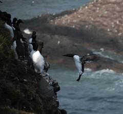 Bridled Guillemot landing (kattabrained) Tags: alcatorda bridledguillemot cliffs seabirds scotland