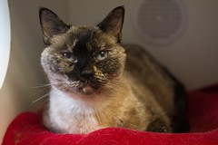 Chica 0003 (Phil Rose) Tags: feline whatcomehumanesociety cats fauna whs cat