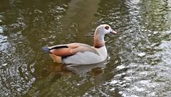 Egyptian Goose (conall..) Tags: nikon afs nikkor f18g lens 50mm prime primelens nikonafsnikkorf18g vondelpark amsterdam egyptian goose alopochen aegyptiacus egyptiangoose alopochenaegyptiacus leg ring