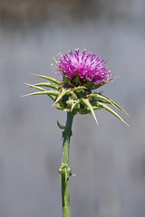 Winged thistle California wildflower very aggressive thorns (lilsin_805) Tags: californiawildflowerslist californiawildflowers2019 californiawildflowersbloom californiawildflowerspurple californiawildflowersreport californiawildflowersyellow californiawildflowersidentification californiawildflowersbloom2019 californiawildflowersblue californiawildflowerssuperbloom californiawildflowersguide californiawildflowersposters californiawildflowerswhite purplewildflowers purplewildflowerscalifornia purplewildflowerssoutherncalifornia purplewildflowercase purplewildflowerweed purplewildflowerbouquet purplewildflowernames purplewildflowersnamesandpictures tamron18400mm tamron18400review tamron18400nikon tamron18400mmf3563 tamron18400mmnikon tamron18400lens tamron18400mmlens
