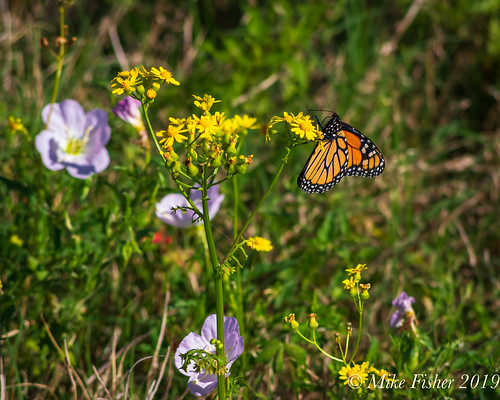 Monarch of the Butterweed