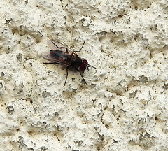 Fly 2.   18.4.19. (VolVal) Tags: dorset bournemouth boscombe garden insect fly wall april