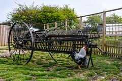 Cockerel (timnutt) Tags: poultry x100t metal fence domesticated machine wire farmyard bird fuji black farm goose x100 fujifilm animal
