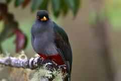 Papagayo, Trogon de La Española, Priotelus roseigaster (Dax M. Roman E.) Tags: papagayo trogondelaespañola priotelusroseigaster