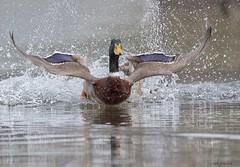 Belly flop!!!! (Melinda G Pix) Tags: bird hunting outdoor nature waterfowl mallard duck