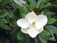 magnolia blossom (Cheryl Dunlop Molin) Tags: magnolia magnoliablossom