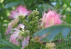 mimosa blossoms (Cheryl Dunlop Molin) Tags: mimosa mimosablossoms mimosatree tree