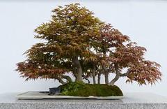 Panasonic FZ1000, Bonsai, Botanical Gardens, Montréal, 7 April 2019 (11) (proacguy1) Tags: panasonicfz1000 bonsai botanicalgardens montréal 7april2019