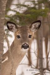Watching Closely (jenny_miner) Tags: deer whitetaildear whitetail whitetaleddeer odocoileusvirginianus doe forest nature wildlife backyard wisconsin