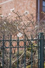 DSC_7652FL (davidben33) Tags: brooklyn spring 2019 street streetphotos architecture landscape cityscape flowers people 718 buildings nikon nikkor gardens portraits girls women macro fashion beauties