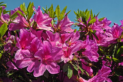 Good Morning !! (Lopamudra !) Tags: lopamudra lopamudrabarman lopa flora flower flowers pink darjeeling himalaya himalayas kalimpong morning morn wish greeting greetings bright westbengal india pretty beauty beautiful