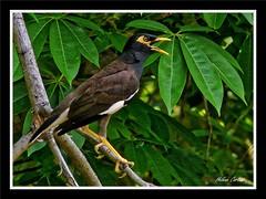 mainate amoureux( minah in love) (hcortade) Tags: thailande samuiislandilebrancheoiseaubirdsaisondesamoursloveseasonvertbrancebranchtree voyage travel world monde nature