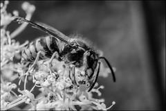7_DSC7396 (dmitryzhkov) Tags: russia moscow life animal wildlife monochrome documentary bw macro macrophotography closeup zvenigorod bee wasp hymenoptera bwnature nature dmitryryzhkov blackandwhite