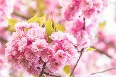 Pink Immersion (NathalieSt) Tags: europe france fleur flower hautsdefrance nature nikon nikond750 nikonpassion nikonphotography noyon oise picardie printemps spring