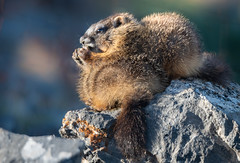 Marmot on Sibling (Jami Bollschweiler Photography) Tags: marmot sibling baby pup youngster whistle pig groundhog ground critter wildlife photography utah