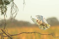 Little Corella (Athena Georgiou) Tags: australia birds birding canon5div 2019 birdsofaustralia herdsmanlake