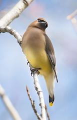 Cedar Waxwings (Jami Bollschweiler Photography) Tags: cedar waxwings utah wildlife photography