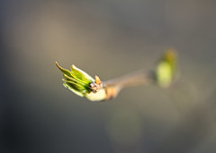 Give me your hand! (GlebLv) Tags: sony a6000 sigma70f28dgmacro|art spring nature bud leaf blur