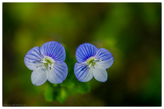 common field-speedwell 31/100x 2019 (sure2talk) Tags: commonfieldspeedwell shallowdof bokeh nikond7000 nikkor85mmf35gafsedvrmicro macro closeup 100xthe2019edition 100x2019 image31100 31100x2019