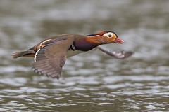 Mandarin Duck (Glenn.B) Tags: forestofdean gloucestershire nature bird avian duck waterfowl water wildlife wildfowl mandarinduck mandarin cannopponds