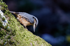 Kleiber  /  Eurasian nuthatch (wolfgang.kynast) Tags: kleiber eurasiannuthatch friedhof cemetery